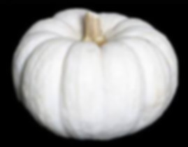 Here is the Valenciano Pumpkin, Cucurbitamaxima.  The Valenciano Pumpkin is more of a squash then pumpkin. It is a white pumpkin but the rind color actually varies from bright white to bluish-grey, with moderate ribbing! It has dense, very pale yellow flesh, sometimes more yellow or light orange in colorwith good flavor. It is a bit stringy and watery. They can grow from 11 to 15 inches wide by 6 to 8 inches tall and weigh 6 to 10 pounds. The plants or vines get to around 10 feet long but can get longer in full sunlight. We found these are really good for making pie and the seeds are also good when roasted. Open pollinated 80 to 100 days.