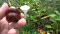 Here is the Mini Chocolate Bell Pepper, Capsicum annuum, Scoville units: 000 SHU. This tiny brown bell pepper is a family heirloom introduced to SSE from Lucina Cress who created it since the 1980's.  The peppers are about 1.5 inches long and have 3 lobes with a rich chocolate brown color. Plants get to 30 inches and bushy.  We found the pepper to be great for pickling! It is a pretty good producer with over 2 dozen fruits per plant. Compact, well-yielding plants. Open pollinated,  65 days.