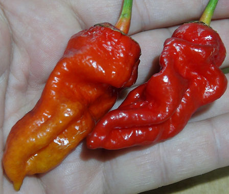 Here is the Redgum Nagabrain Pepper, Capsicum chinense, Scoville units: 400,000 SHU. The Redgum Nagabrain Pepper originates from Italy and is considered to be an RARE! It is an F-4 now and somewhatstable. It is a cross between the Redgum Tiger MAMP x Nagabrain Chocolate withblack striping on red skin almost purple hue when in direct sun light but changes to orange orred an sometimes peach all mixed in when fully ripe or it will just turn full red. They have a great pepper flavor and very chewy but a pretty wicked bite of heat.One plant can produce dozens or more peppers and plants get to around 4 feet tall. Open pollinated 110 days.