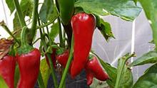 Harbiye Pepper