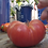 Here is the Mortgage Lifter Tomato, Solanum lycopersicum. This large tomato heirloom variety was  developed by Willam Estler
