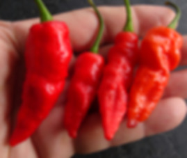 Here is the Purple Ghost Pepper, Capsicum chinense, Scoville Units: 1,000,000+ SHU. This is the true variation of the purple ghost pepper. There are a lot of sites selling something that resembles more of a Habanero rather then a Bhut. we sourced our seeds from Mojo Peppers when they were still around. This is a Bhut Jolokia that is purple when it is in it's unripe stage but when it ripens it turns red. Peppers get to around 2 inches an have the typical shape of a Bhut Jolokia. Plants are highly productive in full sun. This plant needs to be in full sun for pods to turn purple. Great for drying for powder or flake. Open pollinated 90 days from transplanting.