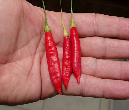 """Here is the Aji Ethiopian Fire Pepper, Capsicum baccatum, Scoville units: 5000 to 10,000 SHU. This pepper originates from the country of Ethiopia. It is a pendulum pepper with pods getting 2.5 inches long and smooth skinned. Pods start out light green in color then turn to orange and red in color when fully ripe. Plants can get to 3+ feet tall and tend to be a large plants but if pruned they tend to stay small like 3 feet tall. Pods have an nice baccatum or berry like flavor with a very nice smooth crunchiness that is very satisfying but some peppers may be very hot! These make a great roasting pepper especially when frying and hold up well on the grill and also great for pickling and drying too! Please note that this pepper is not the same as the """"Bleeding Ethiopian Fire Pepper"""" which has a bleeding calyx. Open pollinated 80 to 100 days."""