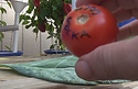 """Here is the Cosmonaut Volkov Tomato, Lycopersicon esculentum """"Cosmonaut Volkov Handles cold…unscathed,"""" says Anne Elder. A superb home-garden variety with good commercial potential both outdoors and in tunnels, Cosmonaut always tastes good, occasionally sublime. The best two tomatoes I've ever eaten were Cosmonauts from different gardens in different years. Usually ripens quantities of deep red slightly flattened 8–12 oz globes at the beginning of August when tomato craving is at its peak. Even in cold summers, it will produce dependably by mid-August. What makes Cosmonaut so special is its juice: sweet, rich and full-bodied. Volkov was the Russian explorer who fell through space. From Dnepropetrovsk in the Ukraine, brought to America by the Seed Savers Exchange. Indeterminate open pollinated 65 days."""
