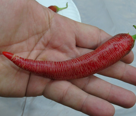 Here is the Elephant Pepper, Capsicum annuum, Scoville units: 600 to 1,000 SHU. This rare and unusual embroidered pepper originates from Kosovo. This strange annuum pepper with pods getting 7 to 8 inches long with its corked skin and mild pepper flavor! Fruits start out green in color and begin to get very embroidered when the turn to a red color when fully ripe. Plants can get to 2.5+ feet tall and tend to be a medium sized plants but if pruned they tend to stay small like 2 feet tall and bushy. Pods have an amazing flavor with a very nice chewy lower heat an sweetness that is very satisfying but some peppers may be hot! These make a great drying pepper and holds up well on the grill and also great for and fresh eating too! NOTE: Please don't confuse this pepper with the Elephant's Trunk pepper as they are totally different varieties. Open pollinated 72 to 85 days.