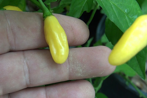 Here is the Yellow bullet habanero pepper, Capsicum chinense, Scoville units: 250,000+ SHU. This is still unstable and may re
