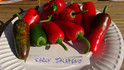 Here is the Early Jalapeno Pepper, Capsicum annuum, Scoville units: 5000 SHU. This pepper variety produces heavy yields of flavorful blunt fruits with distinctive Jalapeño flavor. Small, spicy fruits with thick walls can be harvested dark green or allowed to ripen to red. Compact plants are sturdy getting to around 30 inches tall but bushy and work well in containers. Medium heat with fruits at3 to 3.5 inches long with dozens on one plant!Open pollinated, Days to maturity: 65 days green, 85 days to red.
