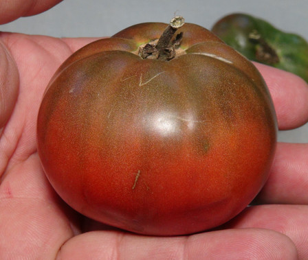 Here is the Maltitzer Braune Tomato aka Brown Maltitzer Tomato, Solanum lycopersicum. This tomato originates from Germany and was discovered in 2004. It got its name from Anne Urban-Baumgart from Maltitz Germany. She discovered a random seedling in your garden, raised it and stabilized the new variety. The fruits are flattened and more or less ribbed. They have several fruit chambers, juicy soft flesh and are surrounded by a skin that is not quite stable. The taste is spicy, aromatic and sweet without much acid. Plants tend to get to 3 feet tall. Great for salads, slicing and for tomato sauce! Open pollinated indeterminate regular leaf mid season 65-75 days.