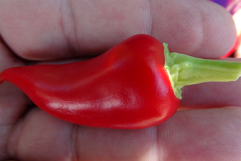 Here is the Rosemary Pepper, Capsicum annuum, Scoville units: 5,000 SHU. It is a favorite pepper in the Turkish cuisine. This