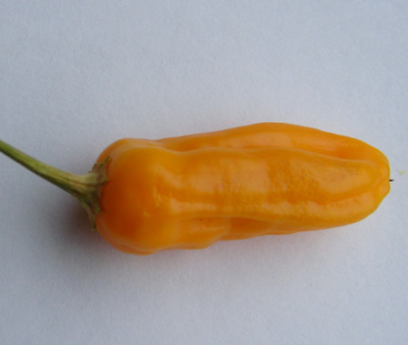 Here is the Aji Habanero Pepper, Capsicum baccatum, Scoville units: 3,000+ SHU. It is unlike the Habanero asthis Aji has minimal heat, but retains the smoky flavor so associated with the Habanero. The bright peppers ripen to a orange-yellow with slight wrinkles. Plants can get to 5 feet tall and are heavy producers! Start seeds in small containers from 8-10 weeks prior to the last frost date. Open pollinated 80 days.