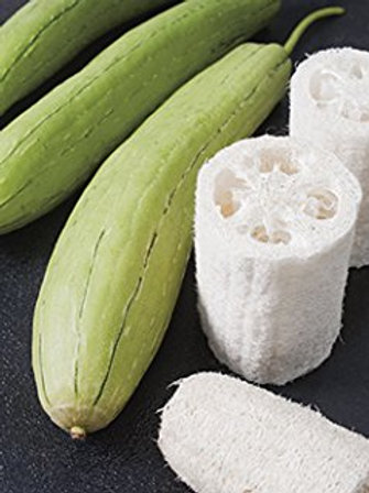 Here is the Luffa Sponge Gourd, Luffa aegyptiaca. It is also known as the Dishrag Gourd, Dishcloth Gourd and Vegetable Sponge