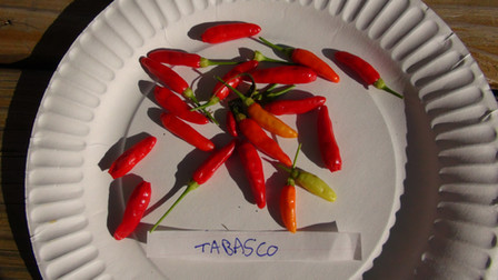 Here is theTabasco Pepper, Capsicum frutescens, Scoville units: 50,000 SHU. This famous heirloom was introduced into Louisiana in 1848 and became the main ingredient in Tabasco Pepper Sauce. This pepper is very hot and has a delicious flavor. The plants grow up to 6 feet tall and are covered with small, thin peppers. Needs a warm summer or can be grown as a potted plant. Fruit ripen from green to orange, then red. Open pollinated, 90 days.