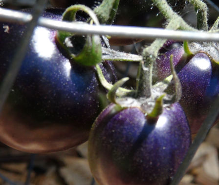 Here is the Blue Bayou Tomato, Solanum lycopersicum. It was created by Tom Wagner, from Washington. This is a blue to dark purple in color tomato with a nice balance of sweet and tangy flavor witch makes 1 to 2 inch fruits. This tomato needs to be in full direct sun to get good color on it. Plants are a pretty good producer but need some attention.A good northern climate tomato verity Indeterminate. Open pollinated 85-90 days.