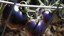 Blue Bayou Tomato
