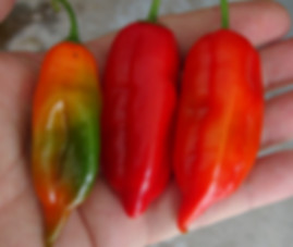 Here is the Aji Verde Pepper, PI 290983, Capsicum baccatum Var. Pendulum, Scoville units: 1,000 ~ 8,000 SHU. This pepper originates from Bolivia, Colombia, and Peru but mostly from the northern coastal valleys of Peru, mainly in Lambayeque and Piura. The pods get to about 3 to4 inches long and turn red when ripe. Plants can get to 4 feet tall and produce several dozen peppers per plant and maybe more in the right conditions. Some say this is the same as the Aji Amarillo but in fact it is NOT! We found these to go great with steak on the grill and they taste great dried and flaked. Open pollinated 90 days from transplant.