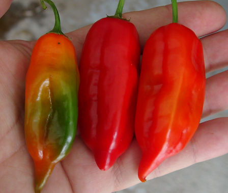Here is the Aji Verde Pepper, PI 290983, Capsicum baccatum Var. Pendulum, Scoville units: 1,000 ~ 8,000 SHU. This pepper originates from  Bolivia, Colombia, and Peru but mostly from the northern coastal valleys of Peru, mainly in Lambayeque and Piura. The pods get to about 3 to 4 inches long and turn red when ripe. Plants can get to 4 feet tall and produce several dozen peppers per plant and maybe more in the right conditions. Some say this is the same as the Aji Amarillo but in fact it is NOT!  We found these to go great with steak on the grill and they taste great dried and flaked. Open pollinated 90 days from transplant.