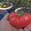 Here is the Dester Tomato, Solanum lycopersicum, This indeterminate, regular-leaf tomato takes longer to produce mature fruit
