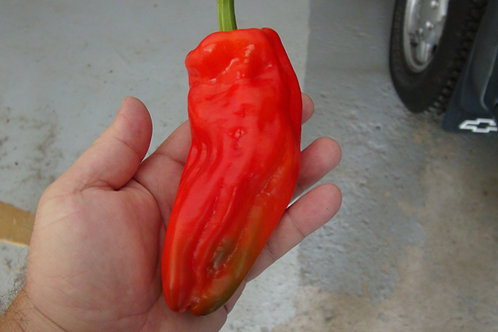 Here is the Bell of Lebanon Pepper, Capsicum annuum, Scoville units: 100 ~ 1,000 SHU. The Bell of Lebanon Pepper originates f