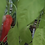 Here is the Friariello Pepper also know as theFriariello di Nocera pepper or Peperone Friariello, Capsicum annuum, Scoville