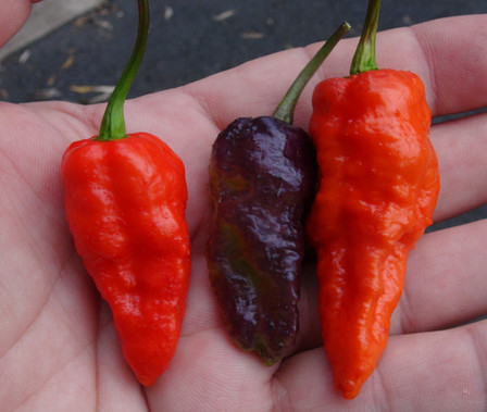 Here is the Blue Ghost Pepper, Capsicum chinense, Scoville units: around 1,000,000 SHU. This pepper variety originated from Italy and sourced from mojo peppers. This cross was made with a Peach Ghost Jami flower using pollen from a Yaki Blue fawn and Mojo Blackie. Plants have dark stems and pods that ripen from green-purple to red. This is the original phenotype of the blue ghost. The pepper plant in this video is about 1 yearold already! Plants can get to 4 feet tall and really spread out a lot. Very heavy producer with pods at 3 inches long. One plant can produce dozens of peppers. Open pollinated, 90 days.
