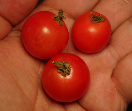 """Here is the Cадовая жемчужина розовая, Solanum lycopersicum. This tomato originates from Russia andwe acquired it from a seed trade. It is pronounced Sadovaja Zhemchuzhina Rozovaja andIt is also known as Pink Pearl of the Garden. The fruits are a small plum tomato with dark pink skin and pink flesh inside. The thing about this variety is the plant is very tiny getting to about 10 inches tall at best but spreads out along the ground and yet it's not considered a dwarf variety! Plants can get to 12 inches tall in really good soil but plants tend to get to 8 inches tall. They have a very sweet and intense tomato flavor with a light tangy twist. They are known to be grown in Russia in hanging baskets. They also make a great snacking tomato and go great in salads! Very similar to the """"Thai Pink Egg Tomato"""" but darker pink and much sweeter. Open pollinated Indeterminate mid season regular leaf 55-70 days."""