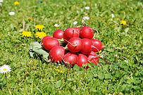 The Cherry Belle Radish is an early season radish with crunchy round red roots. Radishes can be useful as companion plants for many other crops, probably because their pungent odor deters such insect pests as aphids. This is a great starter vegetable for new gardeners. Open pollinated, 40 days.