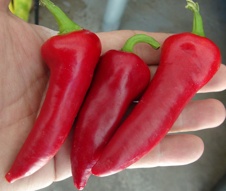 """Here is the Kovin Pepper, Capsicum annuum, Scoville units: 000 SHU. This pepper originates from the town of Kovin (Ковин) in the South Banat District of the autonomous province of Vojvodina, Serbia. It is often used to make Ajvar and for roasting. We found this variety to quite sweet and easy on the palate! Average pod size is about 3"""" but can get bigger. They turn from green to a deep red color with medium wall thickness. Plants can get to around 24 inches but can get bigger in full direct sun light and can be quite productive. Great for roasting and stuffing. Open pollinated 75 days."""