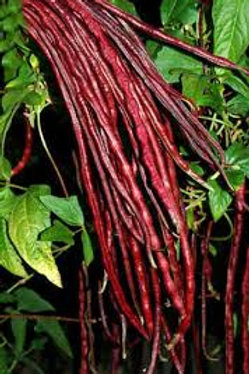 Here is the Red Noodle Yard Long Bean, Vigna sesquipedalis.This bean grows 3 feet long and has a nice pink red color! It is