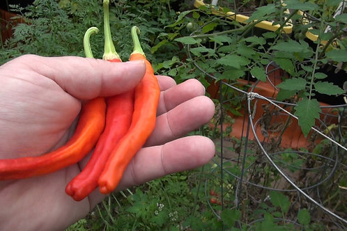 Here is the Carolina Cayenne Pepper Capsicum annuum, Scoville units: 120,000+ SHU. A native of Central and South America, nam