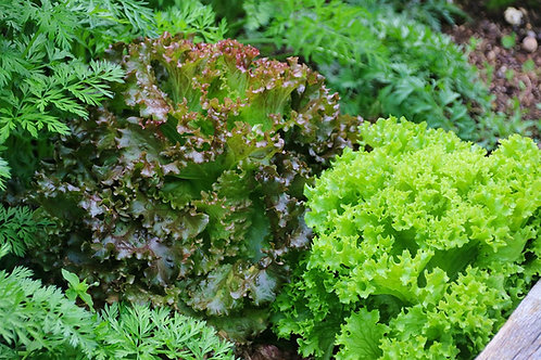 Here is the Four Seasons Lettuce, Lactuca sativa. This superb lettuce is a French butterhead lettuce. It has shown higher tol