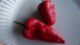 Here is the Leutschauer Paprika Pepper, Capsicum annuum, Scoville units: 1,000 ~ 2500 SHU. This pepper originates from Leutschau, Slovakia. They were also brought south to the small city of Matrafured in the Matra mountains of northern Hungary in the 1800s. It is mostly dried and used to make spicy paprika and to make kapustnica. We found this variety to be a good producer with wrinkled pods about 2.5 ~ 4 inches and have a conical shape that tapers to a rounded point. Plants are very good producers and like lots of sun. They can be eaten fresh or cooked. Open pollinated 80 days.