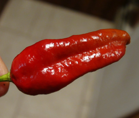 Here is the Bombay Morich Maroon Pepper, Capsicum chinense, Scoville units: 1,000,000 to 1,598,227 SHU. This is a Maroon version of Bombay Morich pepper. One plant out of dozens of plants came up maroon in color. The naga peppers originate from Mumbai (formerly called Bombay) which is the capital city of the Indian state of Maharashtra. It is very similar to the Naga Morich Pepper but is a little different. Pods start out green then ripen to red in color when fully ripe with skins that are lumpy and bumpy like a Bhut Jolokia but fatter then a Bhut. Plants can get to 4 feet tall and produce dozens of fruits per plant. Pods have an amazing rich flavor with a very high striking burn that don't go away very fast! This pepper is rated very high on the scoville scale and is just as hot if not hotter thenthe regular Naga Morich pepper. Open pollinated 80 days.