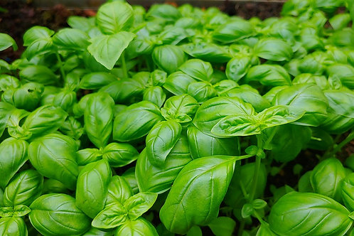 Here is the Red Rubin Basil,Ocimum basilicum. It is also known as Mexican spice basil andhas a spicy, fragrant aroma and fl