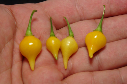 Here is the Biquinho Amarelo Pepper, Capsicum chinense, Scoville units: 400 to 1,500 SHU. This Pepper originates from Minas G