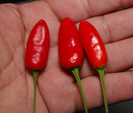 """Here is the CGN 16941 Pepper, Capsicum chinense, Scoville Units: 5,000 to 30,000 SHU. It is said that this pepper may be a natural hybrid between an annuum and a chinense but we believe its just an chinense. The pepper originates from south-east Brazil andIts also known as the """"RU 72-119 Pepper"""". The flowers are whiteand plants only get to around 3 feet tall and spread out wide. The peppers are about 1.5inches long and upright type. Plants are a goodproducer withdozens of pods. They grow very similar to many other bird peppers but with blunt nose fruits. Fruits tend to be late season ripening type. Open pollinated, 55 to 90+ days."""