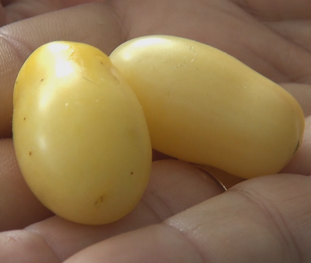 """Here is the Mini White Grape Tomato, Solanum lycopersicum, new for 2019. This regular-leaf grape tomato is a creamy bone colored variety. We found this variety to come true every year from seed. It is a good producer an found this tomato variety to be very hardy and resistant to most blights. The fruits do vary in size an shape and can reach 1"""" across and 8 to a bract. Great for making sauces or eating fresh in salads, open pollinated 70 days."""