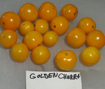 Here is the Golden Cherry Tomato, Solanum lycopersicum. The tomato originates from our gardens in the USA. This golden yellow variety appeared in our garden as a volunteer in 2019. We are not sure of where it came from or if it's some kind of hybrid. It is a cherry tomato that has a golden-yellow skin with a yellow flesh inside getting to about 1.25 inches round and weighting around 1.25 oz. The thing about this variety is the tomato has appeared out of nowhere as we never grew any tomatoes like this in the past. Plants can get to 6 feet tall in really good soil but plants tend to get to 4 feet tall. The fully ripened fruits will have a deep rich solid color to them. Great tasting tomatoes for salads, eating fresh and for tomato sauce and paste! Open pollinated indeterminate regular leaf mid season 64 to 86 days.