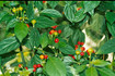 Here is the CGN 20800 Pepper, Capsicum chinense. Scoville units: 1,000 ~ 5,000 SHU. This pepper originates from Guyana south America. It grows in the mountains at 424770 meter ASL. At this time there is no information on the pepper. It is a low heat pepper with a nice taste! One plant can produce hundreds of peppers that grow in upright clusters of about 6 and are about 3/8 inches round. Plants get around 3 feet tall but can get a little bigger. You can Grow it as an ornamental, or in the vegetable garden, or both! Open pollinated 90 days.