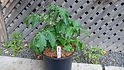 """Here is the Hahms Gelbe Topftomate Tomato, Solanum lycopersicum. This micro dwarf variety of tomato originates from Germany and was created by Reinhard Kraft. They can grow to 9 inches tall and very bush like. The plants are very sturdy and are self supporting. The tomatoes get to about .5 to .75 inches round or larger some say and turn to a lemon yellow color when fully ripe. This variety is classified as a """"determinate"""" type but we found that with regular pruning and good maintenance, the plants can live for a year or so in small pots! The fruits are like a small cherry and are very tasty and sweet! Open pollinated, determinate Regular leaf early to mid season 38 days to a year or so."""