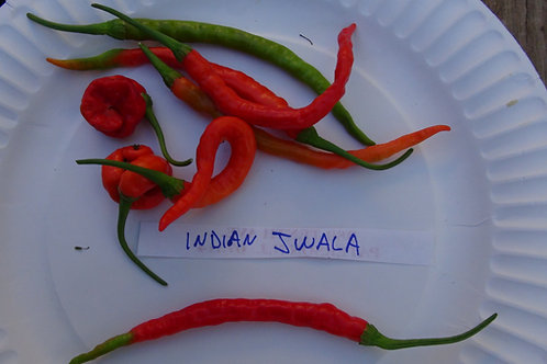 Here is the Indian Jwala Pepper, Capsicum annuum, Scoville units: 100,000+ SHU. It is one of the most popular peppers in Indi