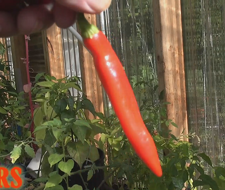 Here is the Goat Horn Pepper, Capsicum annuum (PI 321003), Scoville units: 20,000 ~ 50,000 SHU. This pepper is most popular in China and Southeastern Asia but comes from the Caribbean (Bahamas). Fruits have a good, fruity flavor and an interesting combination of sweet and spice that make them popular for hot sauces and eating fresh. Pods can get to 6 inches long and ripen to a deep orange to red color. Plants can get to 3.5 feet tall and produce well over a 100 fruits on one plant. Open pollinated, 75 days.