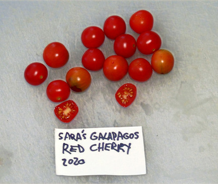 Here is the Sara's Galapagos Tomato, Solanum lycopersicum var. cerasiforme. This tomato originates from Galapagos Islands and was brought back by Amy Goldman and her daughter Sara Goldman. Carolyn Male requested that Amy bring back some of the wild tomatoes from the islands and so she did but they were not the golden varieties Carolyn was expecting. This is an interspecies cross most likely a cross between a S. pimpinellifolium x S. cheesmanii which is a stable variety according to Dr. Chatelet at the Tomato Genetics Resource Center at University of California. Solanum pimpinellifolium has been well known to have invaded the Galapagos Islands centuries ago. The fruits are a current type with a red skin and red flesh inside that gets to about .5 inches round and weighing around .25 oz. The thing about this variety is the plants can be difficult to grow and don't get as large as regular pimps! Plants can get to 5 feet tall and bushy in really good soil but plants tend to get to 3.5 feet