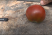 Here is the Black Prince Tomato, Solanum lycopersicum. This tomato originates from Irkutsk in Siberia Russia. This tomato has a deep garnet skin with a red flesh inside getting to about 2.5 inches round and weighting around 4 oz. The thing about this variety is it's sometimes they are a deep mahogany red color and sometimes they can be a copper light brown color! Plants can get to 6 feet tall in really good soil but plants tend to get to 4.5 feet tall. The fully ripened fruits will have a deep rich color to them. Great tasting tomatoes for salads, eating fresh and for tomato sauce and paste! Open pollinated indeterminate regular leaf mid season 65-87 days.