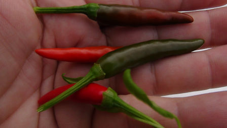 Here is the Japones Pepper  also known as the Yatsufusa (Yatzy) pepper, Capsicum annuum, Scoville Units: 15,000 ~ 75,000. The Japones Pepper originates from Japan and is widely used in Szechwan dishes and is often referred to as chilies Japones. This chili is similar in appearance to the Chile De Arbol. They grow in upright clusters of 5 to 6 at the top of an 18 to 24 inches tall bushy plant. This pepper variety is quite productive producing hundreds of pods per plant! Delicious in sauces and stir fries but we prefer to dry them out and use as a flake. Open pollinated 80 days after transplant.