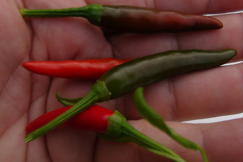Here is the Birds Eye Pepper, Capsicum annuumglabriusculum, Scoville units: 50,000 ~ 225,000 SHU. The Birds Eye pepper is th