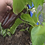 Here is the Sweet Chocolate Pepper, Capsicum Annuum, Scoville units: 000 SHU. This is a sweet semi bell shaped bell pepper th
