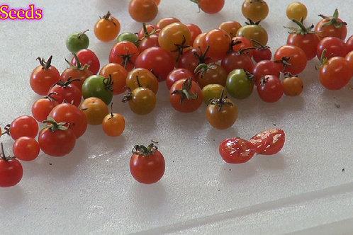 Here is the Wild Currant Tomato From Peru, Solanum pimpinellifolium var. pimpinellifolium, new for 2019. This wild tomato fro