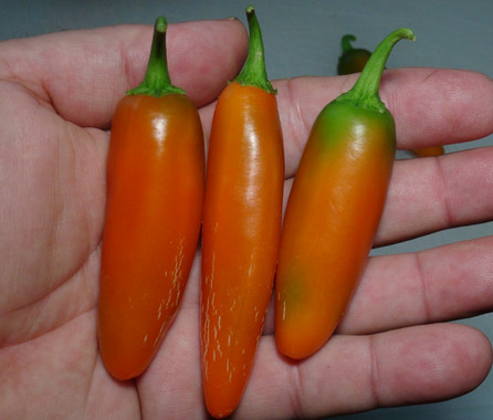 Here is the NuMex Orange Spice Jalapeno Pepper, Capsicum annuum, Scoville units: 1,100 to 10,000 SHU. This peppers originates from the New Mexico State University at the Chile Pepper Institute USA and is a cross between a Permagreen Bell pepper and the Early Jalapeno. This orange Jalapeno pepper variety is quite tasty and is often confused with the pumpkin spice Jalapeno pepper which is a short stocky variety of orange jalapeno pepper. Pods start out green in color then turn to a fire orange color when fully ripe and get to 2.5 inch long. Plants can get to 18 to 24 inches tall and tend to be a short type and if pruned they tend to stay very small like 19 inches tall. Pods have an amazing classical jalapeno flavor when fresh but with more sweetness with a very nice medium burn that don't go away very fast! Excellent for eating fresh, drying and pickling! This is a mid season variety so start early!. Open pollinated 70 to 87+ days.