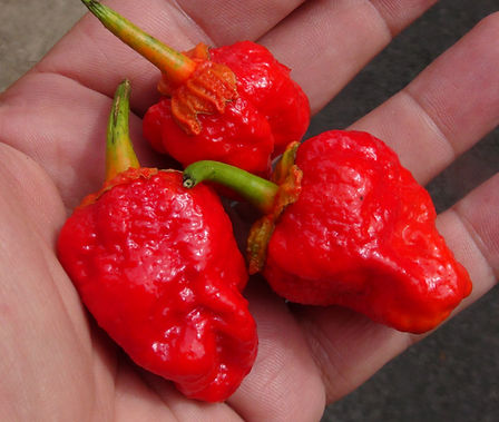 Here is the 7 Pot Bubblegum Pepper, Capiscum chinense, Scoville units: 600,000 to 1,000,000 SHU. This pepper originates from the UK and was created by Jon Harper. Often referred to as BBG7 or bleeder for its bleeding calyx. This pepper is a cross between a Yellow 7 Pod and a Trinidad  Moruga Scorpion. Fruits don't get to much bigger then about 1.5 inches and has a vicious burn. Flavor tends to have a bubble gum candy flavor hence the name bubblegum. Plants are very productive and can get to 3 feet high and bushy. Open pollinated, 95 days.