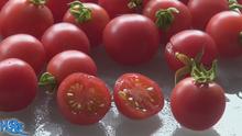 Wild pink cherry tomato